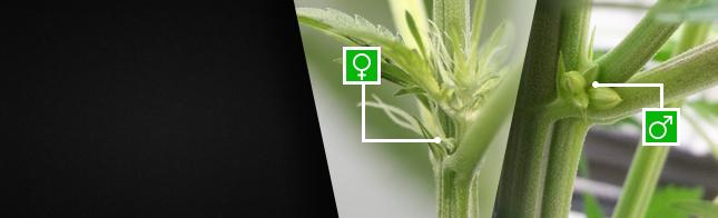 Как определить пол конопли