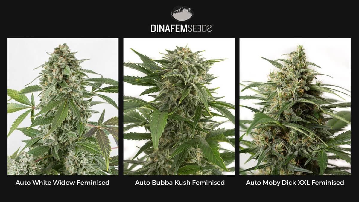Семена конопли Dinafem Auto Feminised