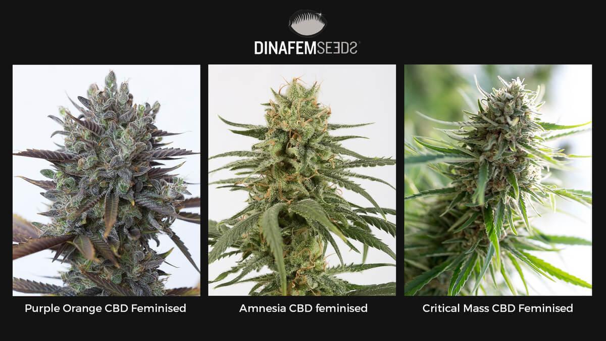 Семена конопли Dinafem CBD Foto