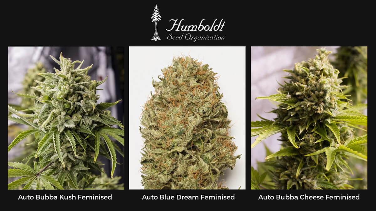 Семена конопли Humboldt Auto Feminised