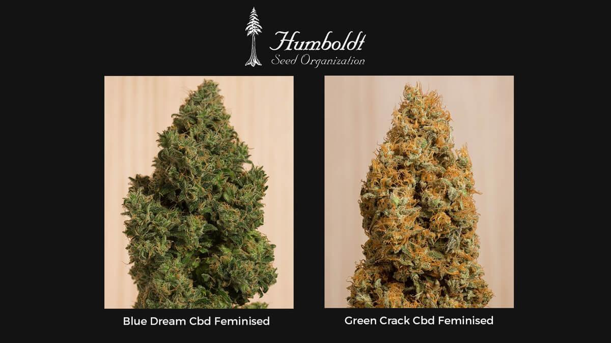 Семена конопли Humboldt CBD