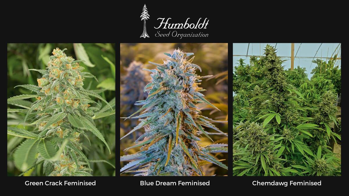 Семена конопли Humboldt Seeds