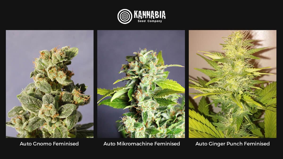 Семена конопли Kannabia Auto Feminised