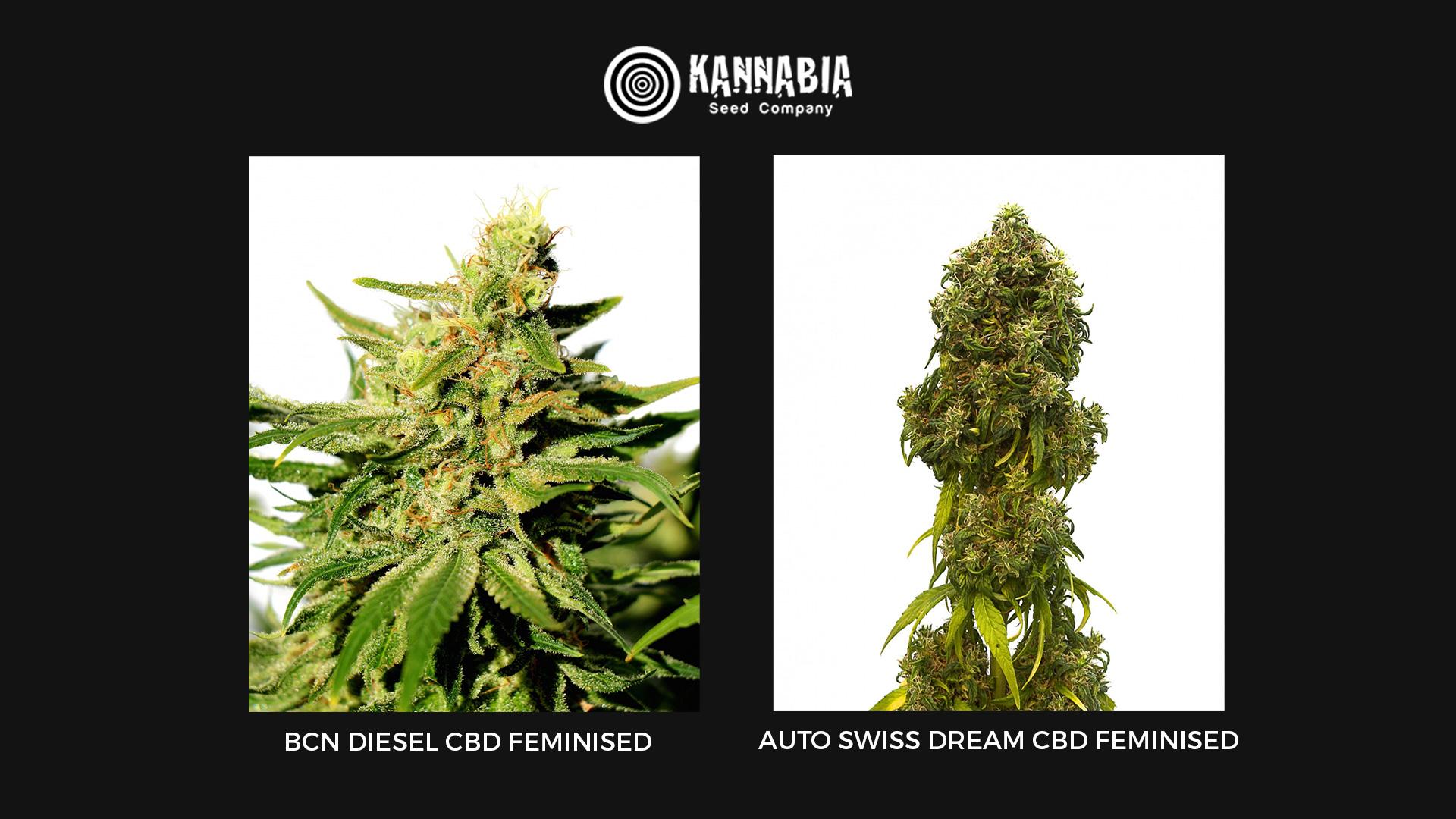 Семена конопли CBD Kannabia