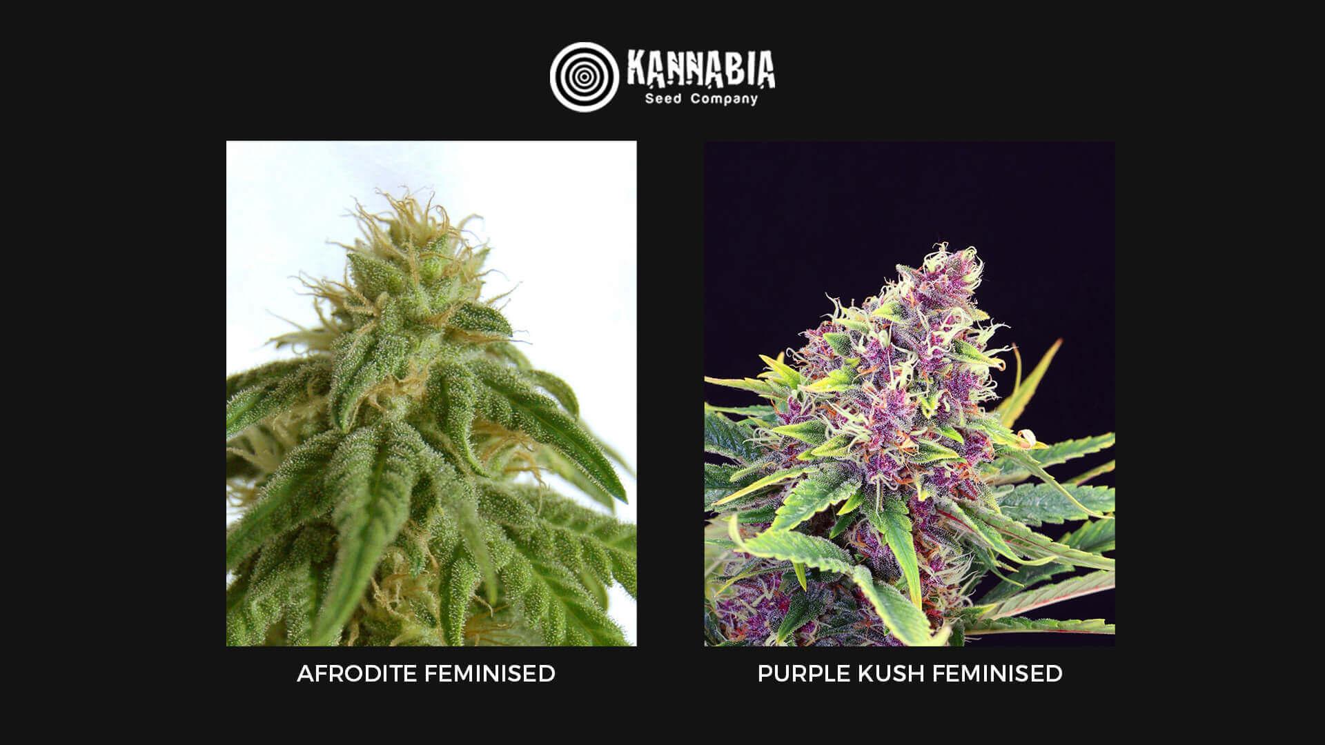 Семена конопли Feminised Kannabia