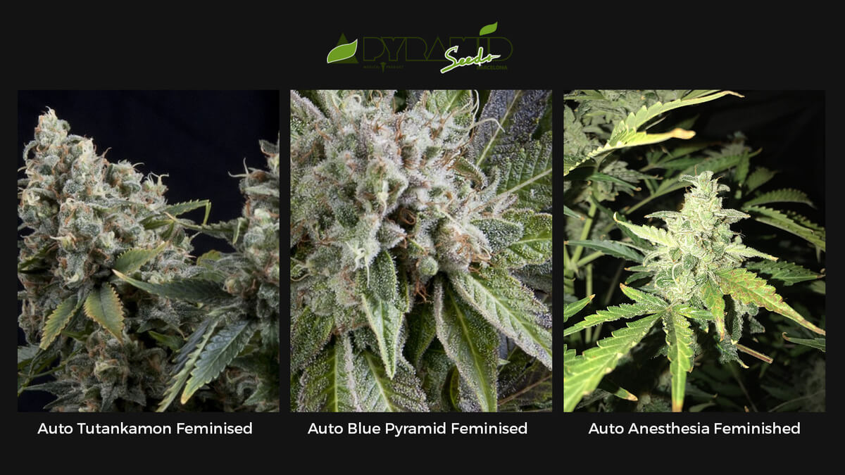 Семена конопли Pyramid Seeds Auto