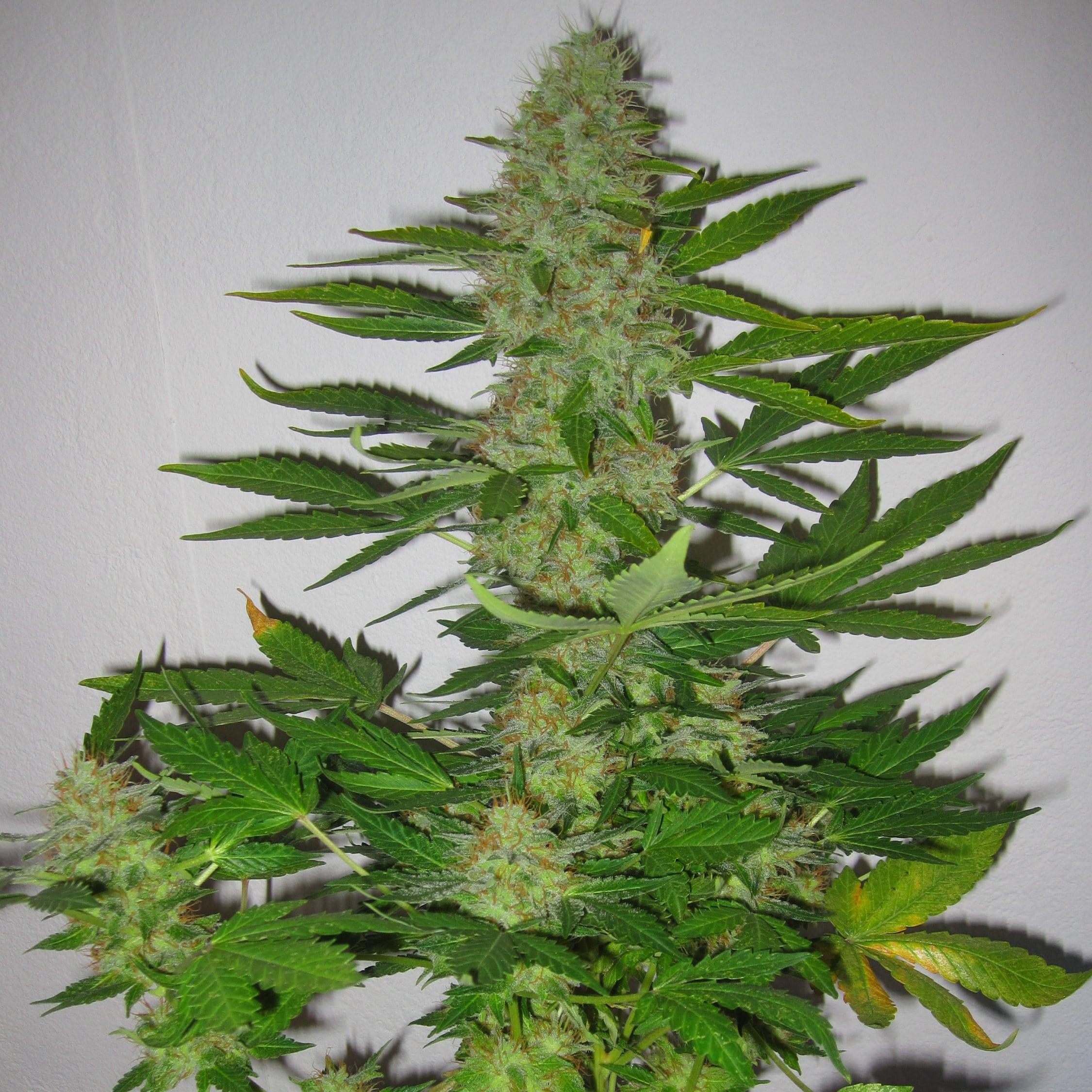 Описание семени конопли обои марихуана для рабочего стола