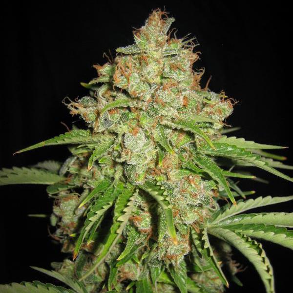Магазин семян марихуаны в москве сколько дней выводится из организма марихуана