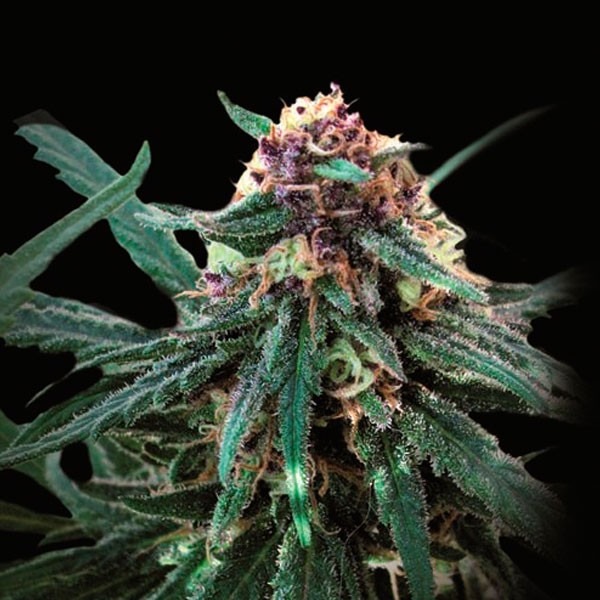 Купить семена конопли обман клетка марихуаны фото