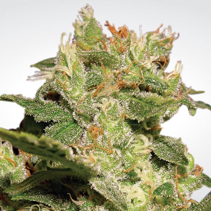 Клонируемые сорта конопли героин клей марихуана