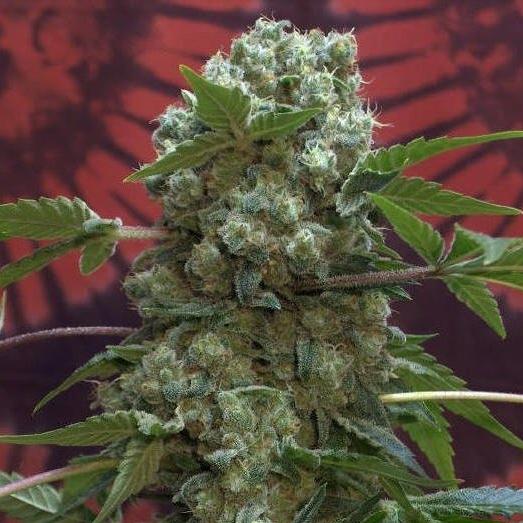 Сорт конопли нибиру за сбыт и хранение марихуаны