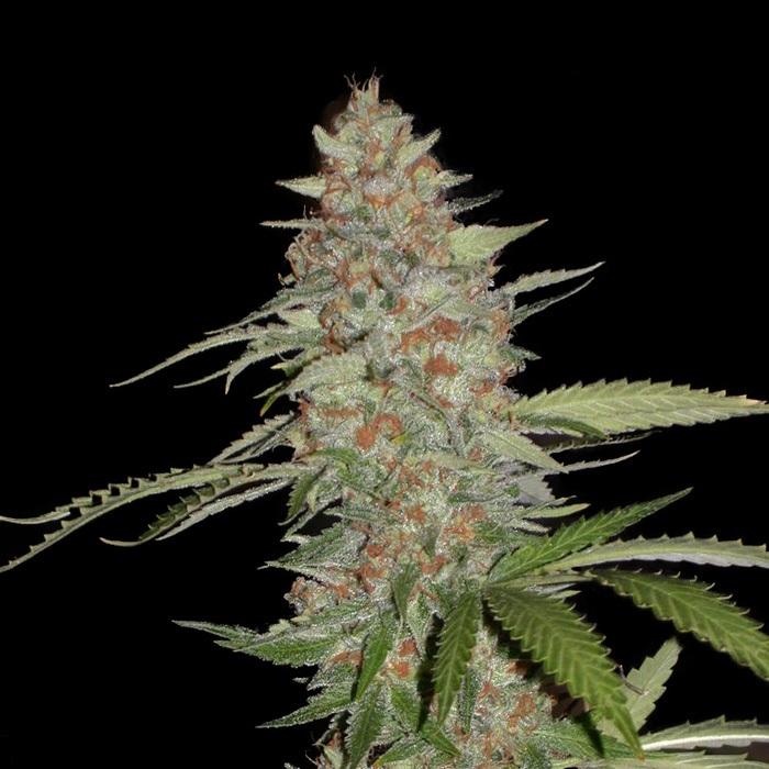 Семена выписать конопля покурить марихуану в праге