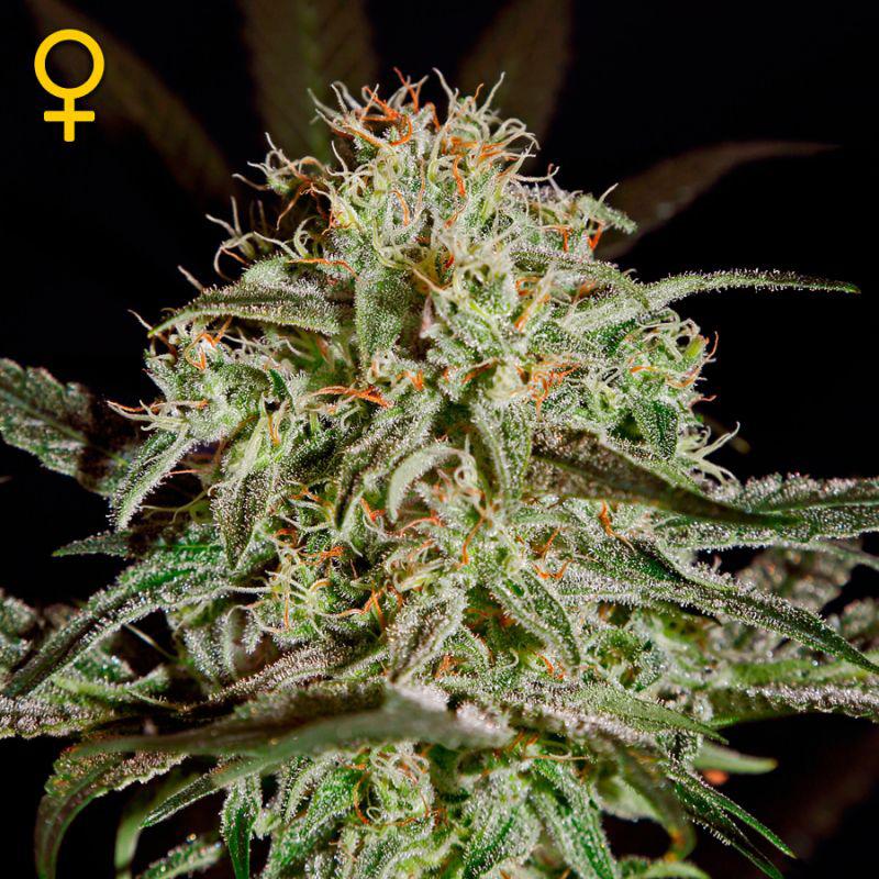 Прут ли семена конопли как лечат зависимость от марихуаны