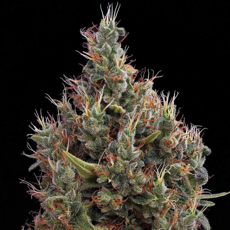 Конопли семена big bang в гидропонике марихуана