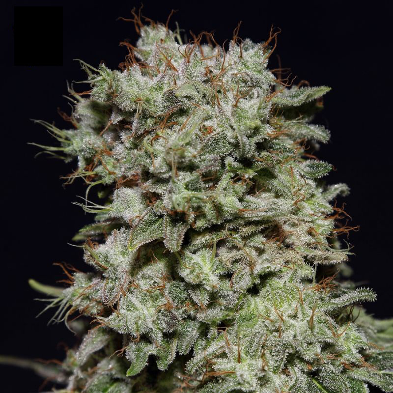 Купить семена марихуаны в крыму употребление конопли сроки