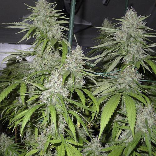 Амнезия конопля индор марихуана