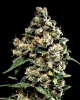 Auto Jack Herer Feminised Gold - image
