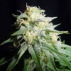 White Widow Feminised Gold - image
