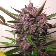 Auto Blackberry Kush Feminised - image