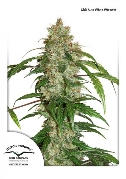Семена коноплиAuto CBD White Widow Feminised - image