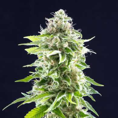 Cookies Haze Feminised - image