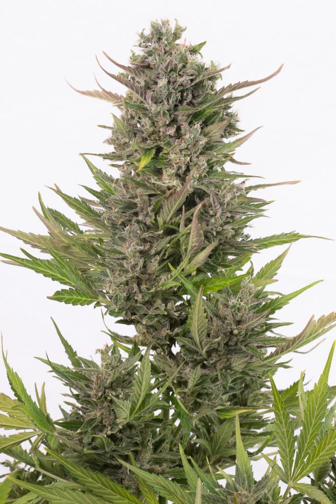 Auto Critical CBD Feminised Gold - image