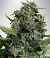 Auto Big Bud XXL Feminised  - image