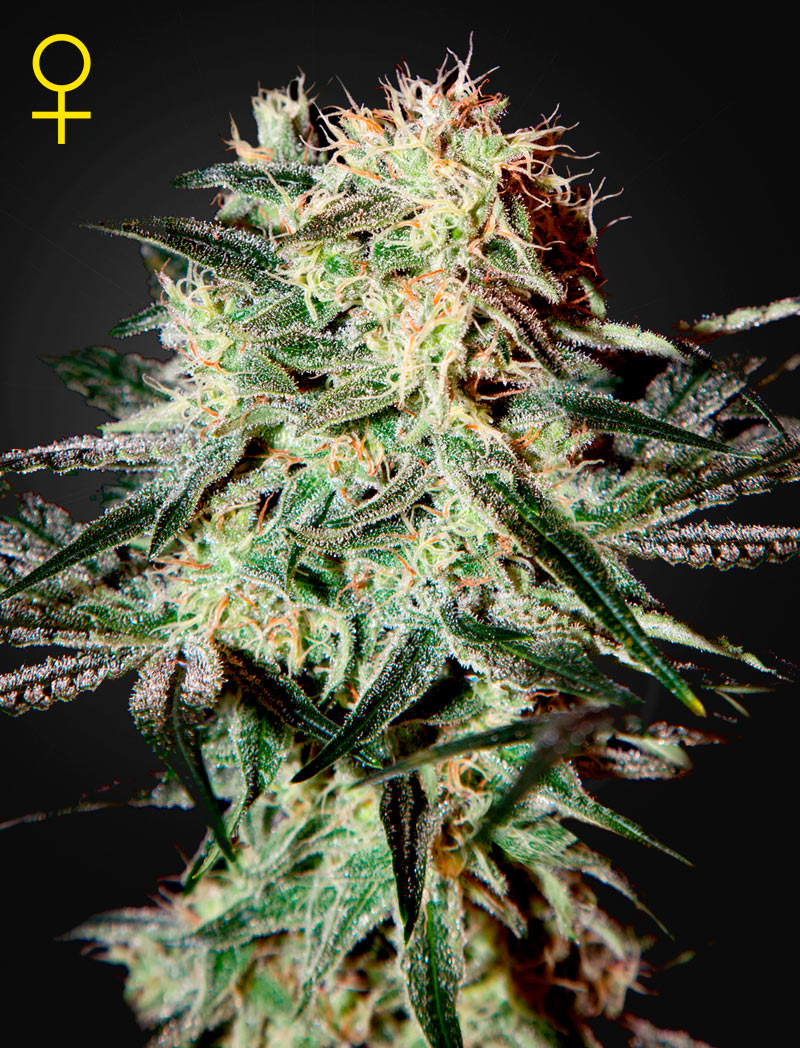 Arjan's Strawberry Haze Feminised - image