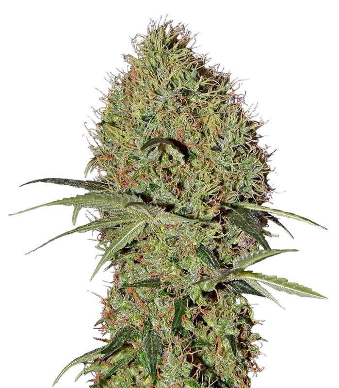 green-house-seeds-auto-super-bud-feminis