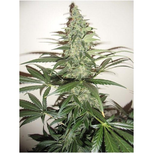 Auto Super Lemon Haze CBD Feminised - image