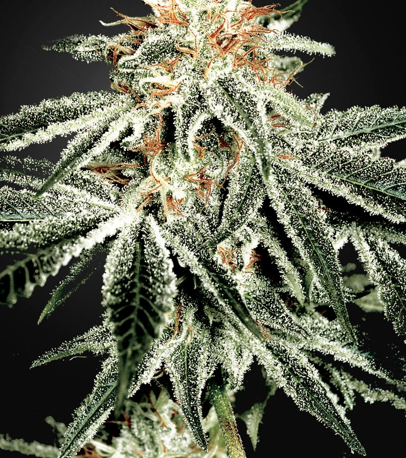 CBD White Widow Feminised - image