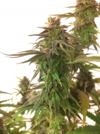 Auto Medical CBD Feminised Gold - image