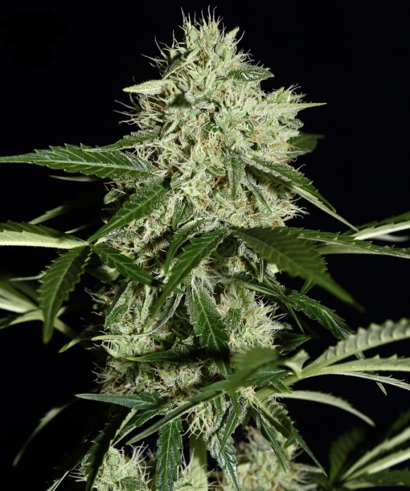 Auto Northern Lights Feminised - image
