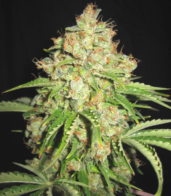 Auto White Russian feminised Gold - image