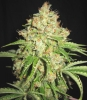 Auto White Russian feminised Gold