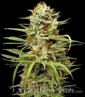 Auto White Widow - image