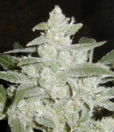 Auto White Widow Silver - image