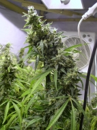Amnesia Haze Feminised Gold - image