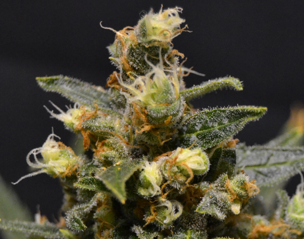 CBD AK-47 Feminised Gold - image