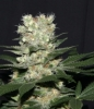 G13 Feminised Gold - image