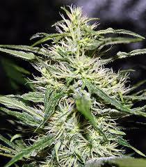 Jack Herer Feminised - image