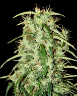 Skunk Haze F1 Seedsman - image