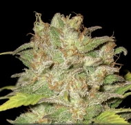 White Widow - image